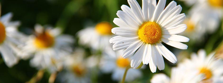Welche Blumen und Wildkräuter sind essbar?