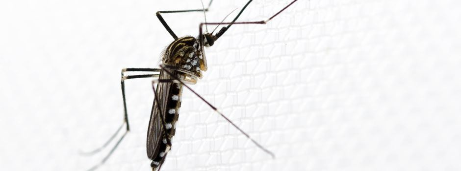 Gefährliche Mückenart in Wiesbaden entdeckt