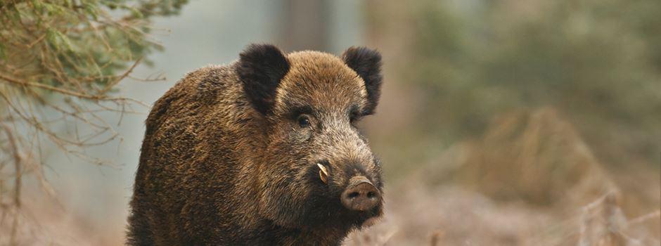 Wildschweine jagen Mann einen Baum hinauf
