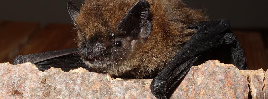 Viele Fledermäuse in Augsburger Innenstadt: Ein Verhaltens-Guide