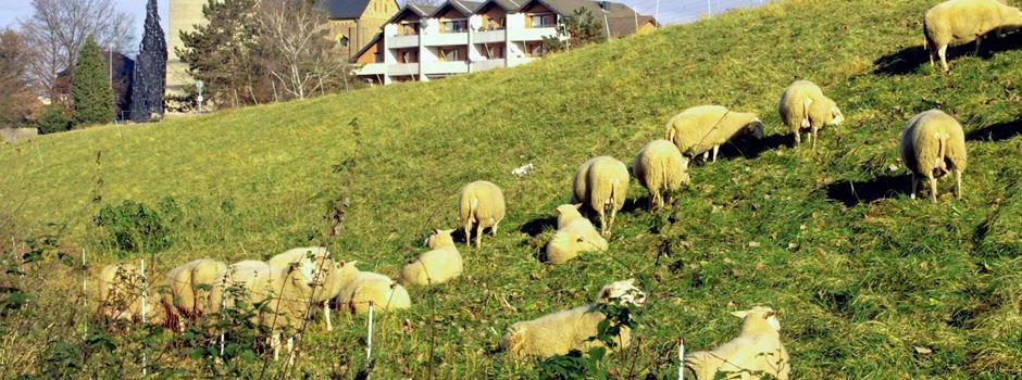 Kontroverse Diskussionen um Mahd, Schafe, Jakobskreuzkraut und Deich
