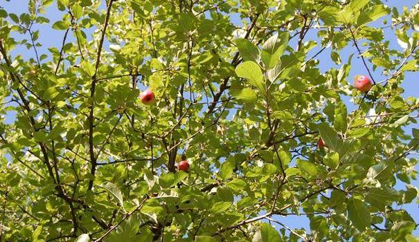 Äpfel, Birnen und Pflaumen in Herzebrock-Clarholz: Obst von gemeindeeigenen Bäumen an den Straßen darf gepflückt werden