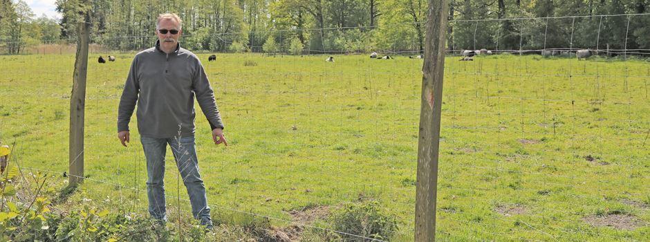 Trotz Wolfszaun: Lämmer totgebissen